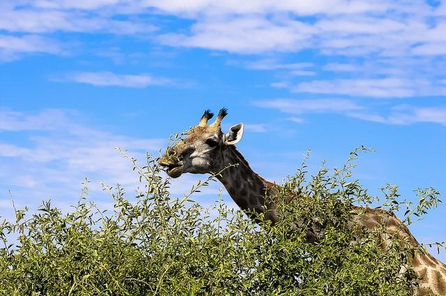 Giraffe  by Letizia Barbi