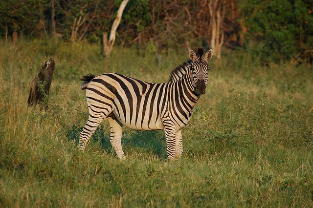 Zebra  by Joachim Huber