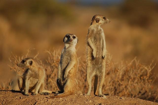 Meerkats  by Joachim Huber