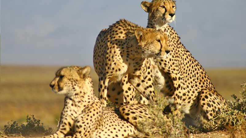 Inverdoorn cheetahs