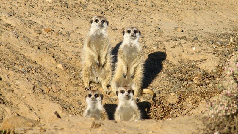 Meerkat in Inverdoorn