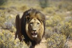 Inverdoorn lion