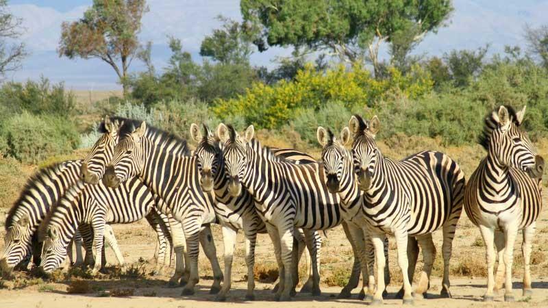 Inverdoorn zebra