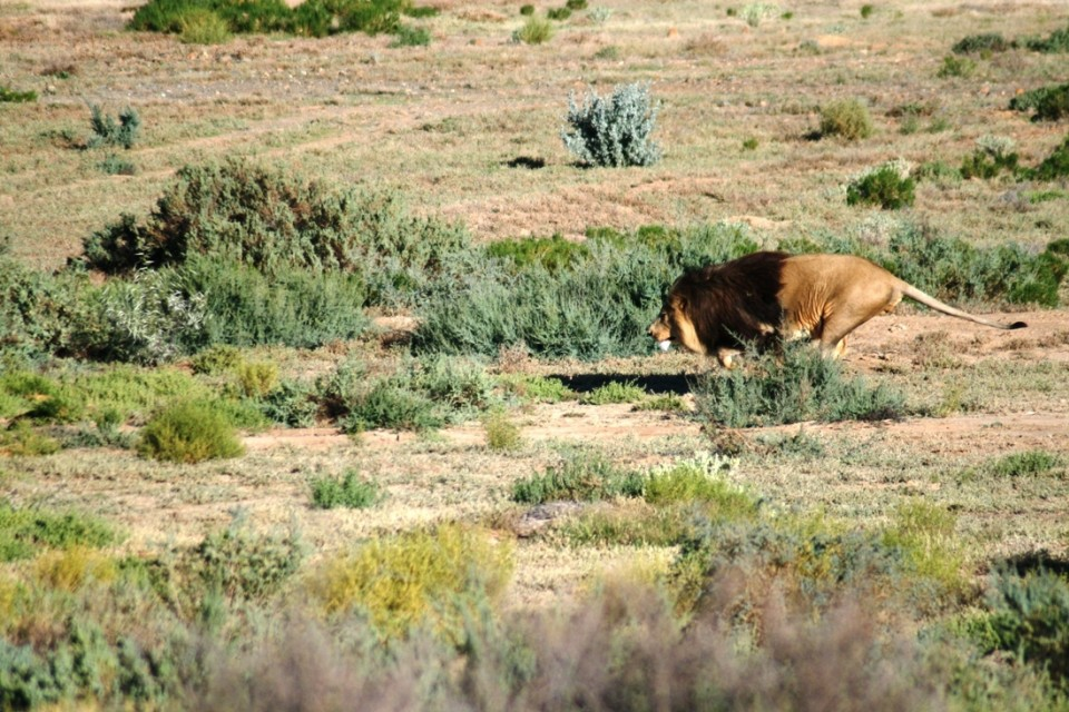 Lion hunting in Inverdoorn