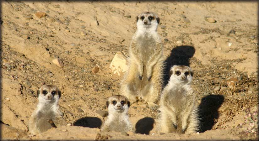 Inverdoorn Meerkat