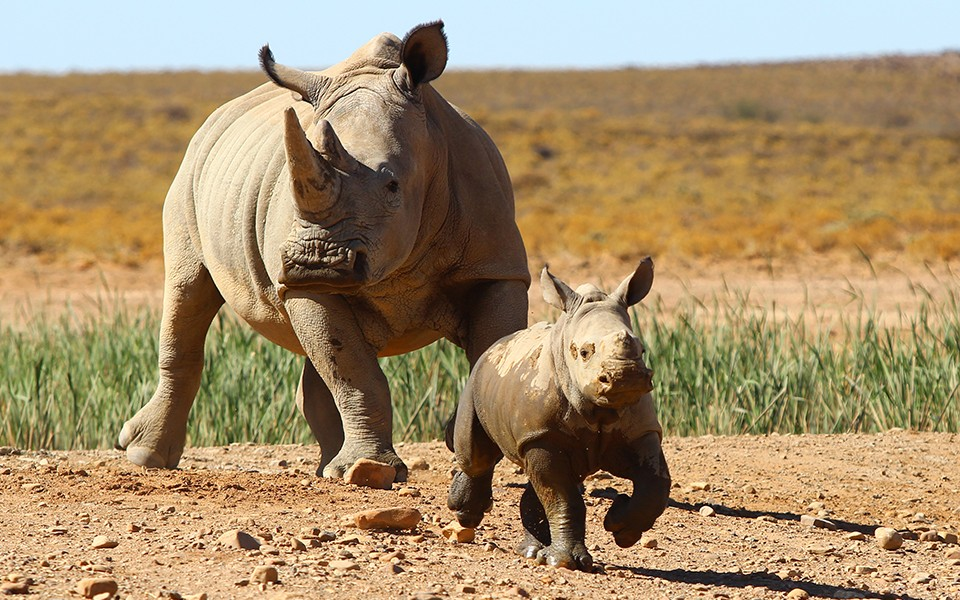Inverdoorn rhinos