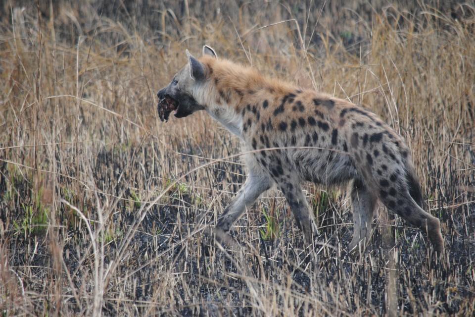 Mutinondo hyena