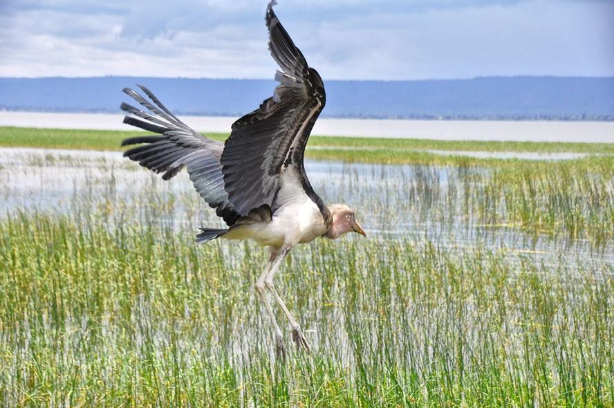 Lake hawassa pelican  by Rod Waddington