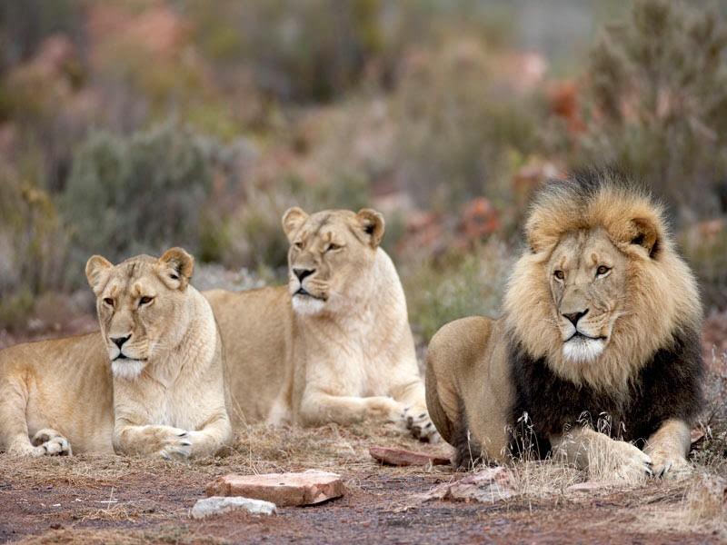 Aquila safari lion