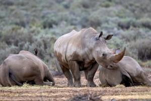 Aquila safari rhino