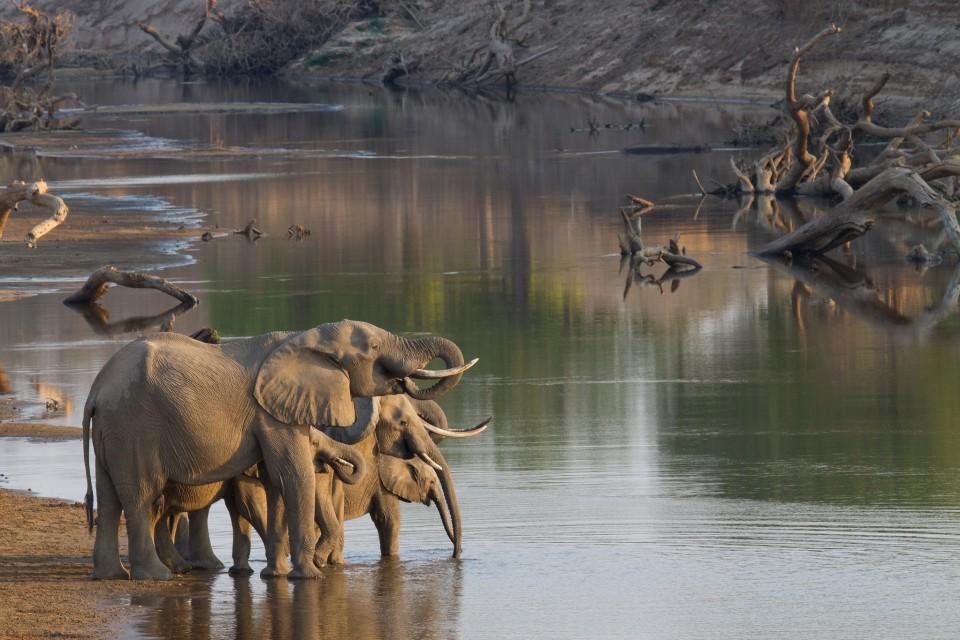 Luangwa elephants  by Richard Toller