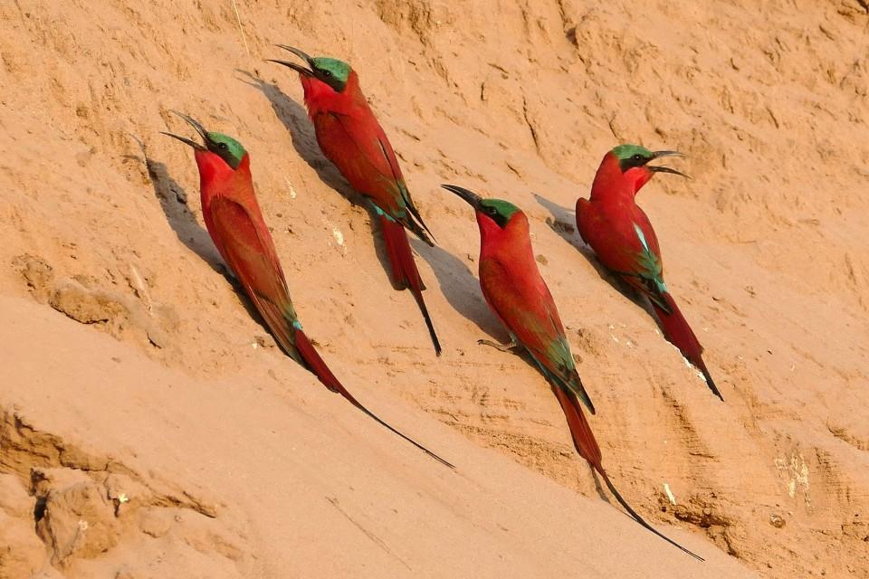 Luangwa carmine bee-eaters  by Erica Hayton