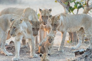 South Luangwa lions