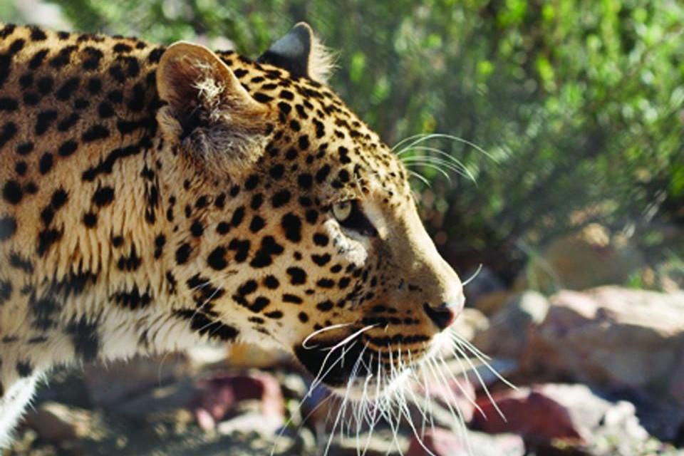 Aquila leopard