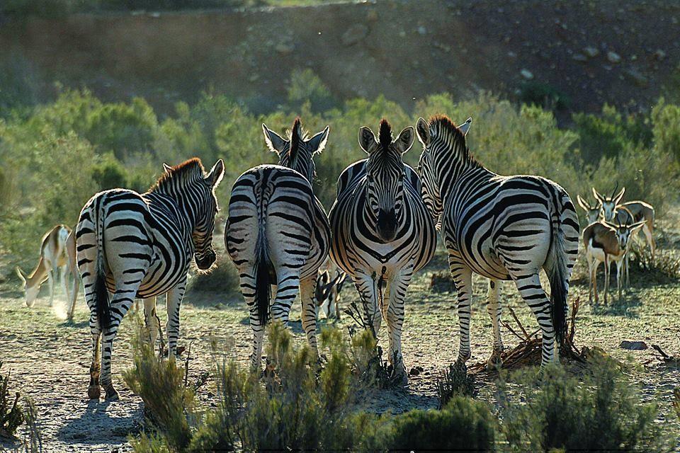 Aquila zebras