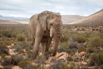 Aquila elephant