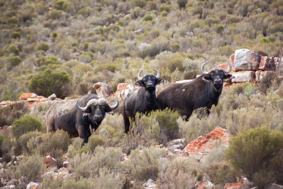 Aquila  buffalos