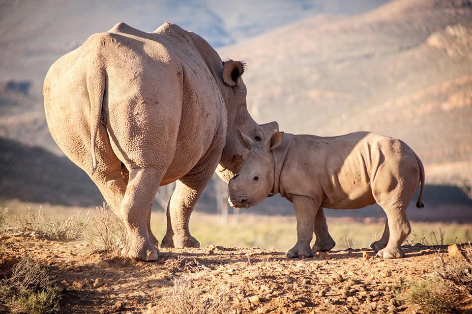 Aquila  rhinos