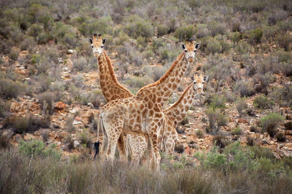 Aquila giraffes