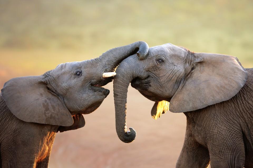 Two elephants having a chat, Maasai Mara