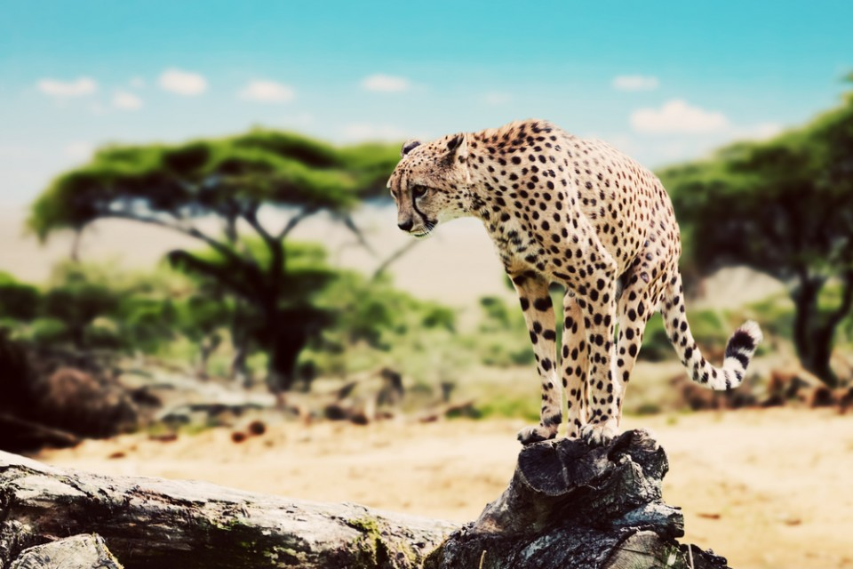 Cheetah poised to leap off a dead tree in the Serengeti