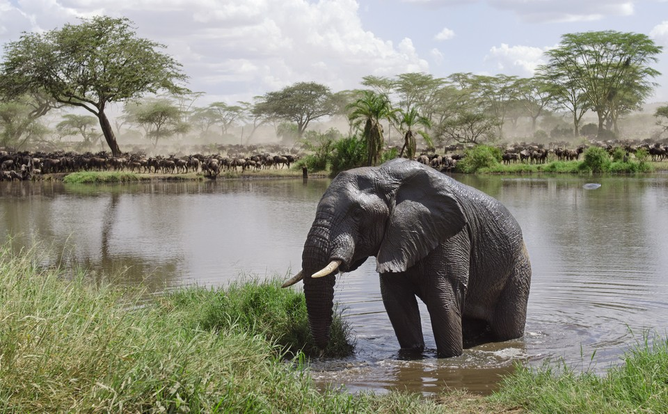 Elephant emerges from the Mara river with Wildebeest behind