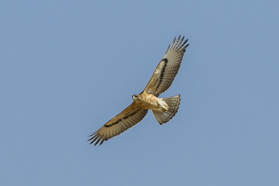 African Hawk-Eagle  by Francesco Veronesi