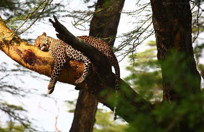 Sarova leopard