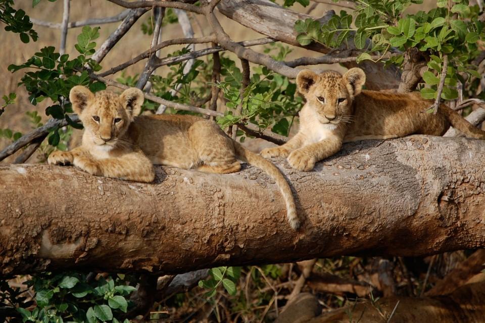 Tsavo West lion cubs  by Matt Berlin