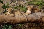 Tsavo West lion cubs