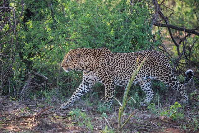 Leopard  by ninara