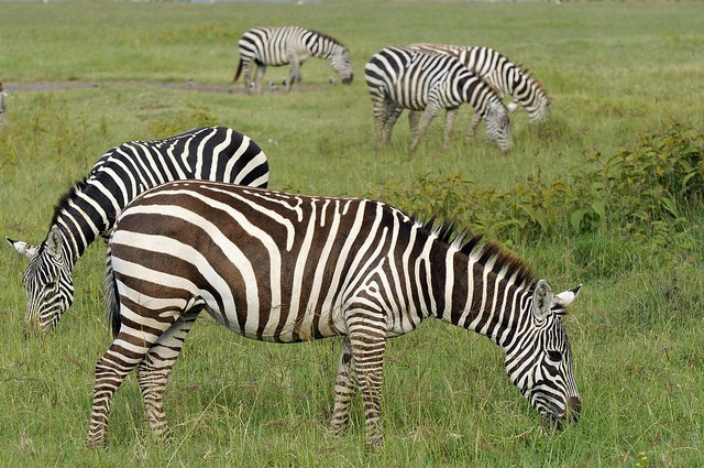 Nakuru zebras  by Son of Groucho