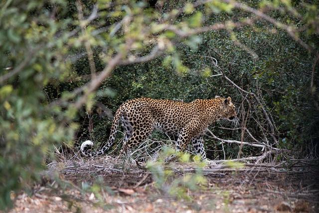 Timbavati leopard
