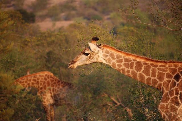 Timbavati giraffes  by Christian Keller