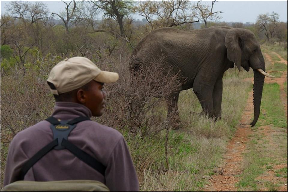 Elephant on bush walk