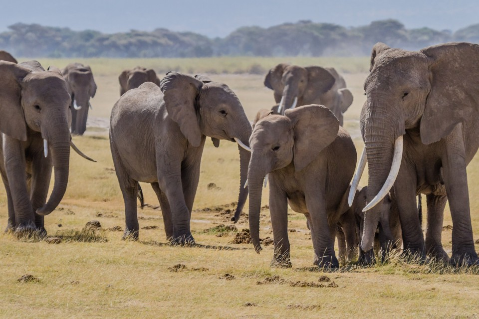 Amboseli elephants  by Benh LIEU SONG