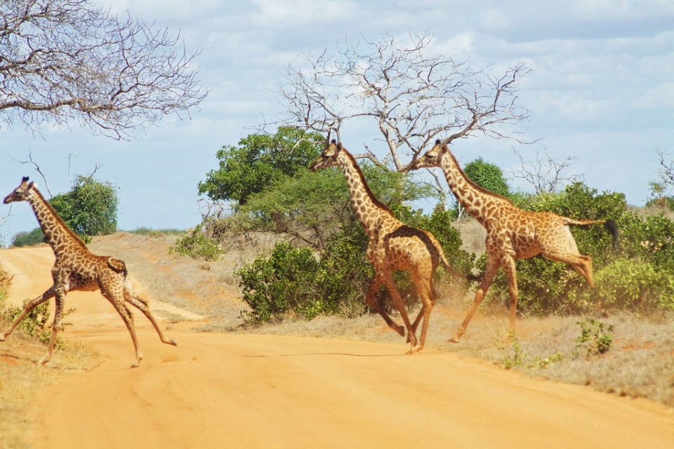 Tsavo giraffes  by Mc Kay Savage