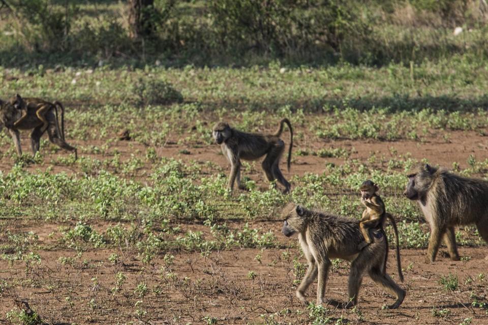 Tsavo leopard  by Ninara