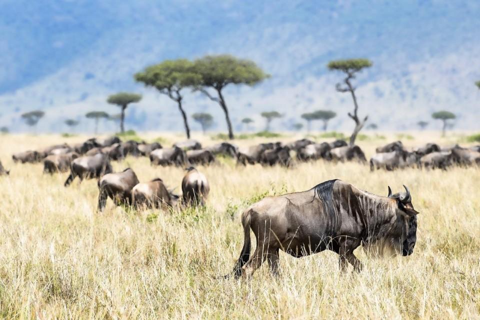 Wildebeest of Mara  by Christopher Michel