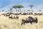 Wildebeest of Mara