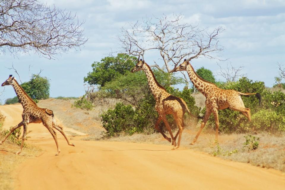 Tsavo giraffes  by McKay Savage