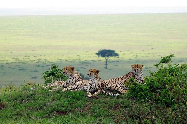 Mara cheetahs  by Xiaojun Deng