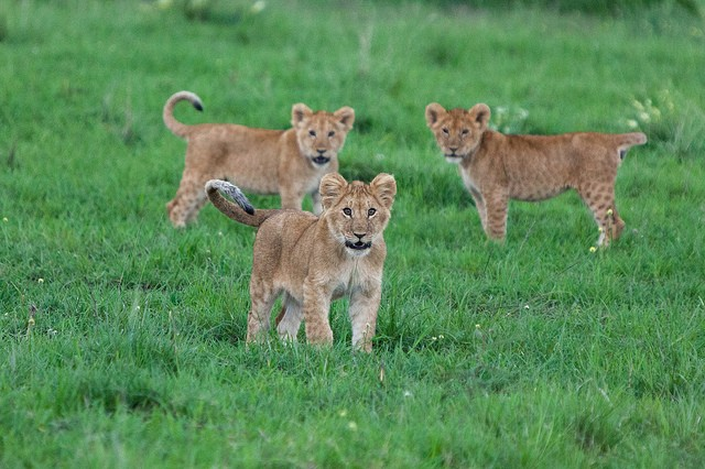 Masai Mara lion cubs  by Matt Biddulph