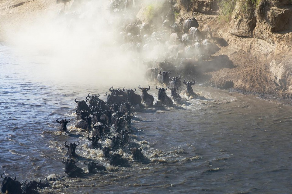 Wildebeest migration  by Christopher Michel