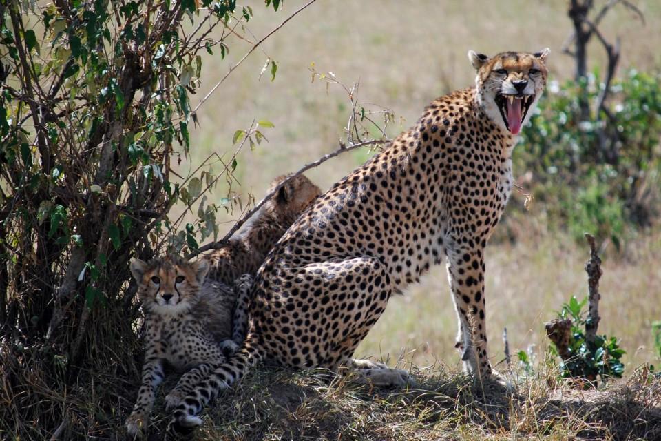 Mara cheetah and cubs  by Chad Rosenthal