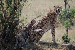Mara cheetah and cubs