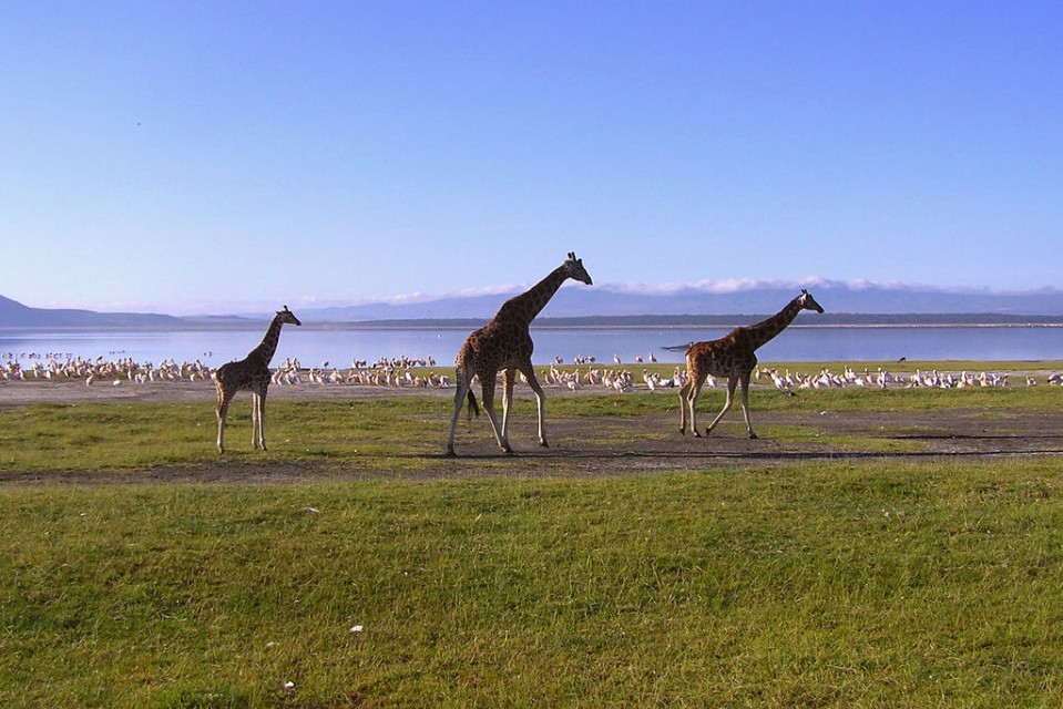 Lake Nakuru giraffes and flamingos  by Henrik Bennetsen