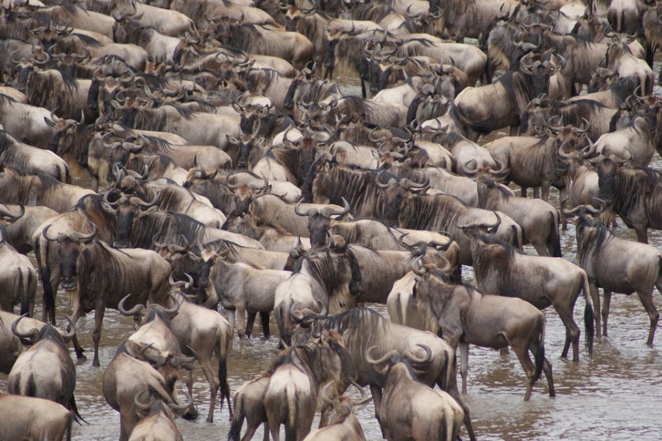 Mara wildebeest  by Julian Mason