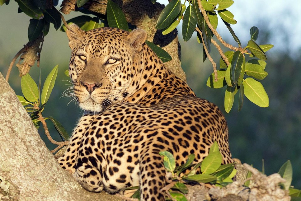 Mara leopard  by Christopher Michel