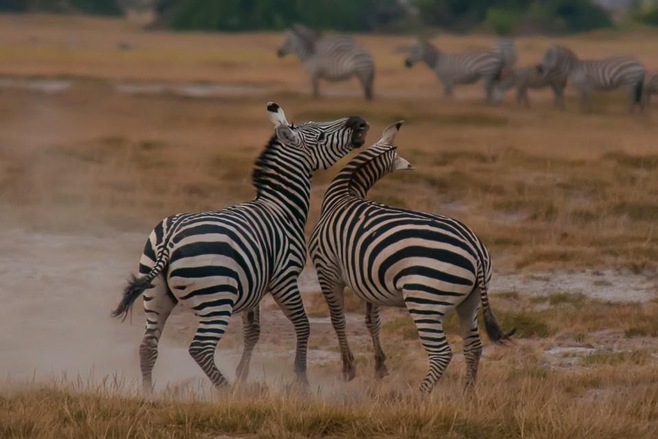 Zebras  by Anita Ritenour